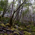 Tasmanian rainforest by Craig Shadbolt
