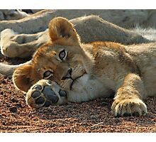 Life is good for cubs in this pride! Photographic Print