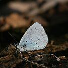 Papillon Bleu by Pamela Jayne Smith