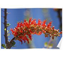 Ocotillo flowers Poster