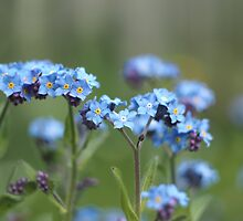 Forget-me-not by Robert Worth