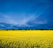 Golden Canola by ╰⊰✿Sue✿⊱╮ Nueckel