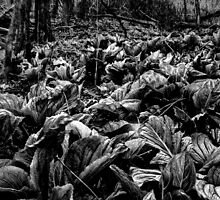 Skunk Cabbage Early Spring Greenery by Rick Gold