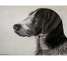 German Wirehaired Pointer Photographic Print