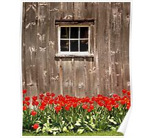 Red Tulips & Barn Poster