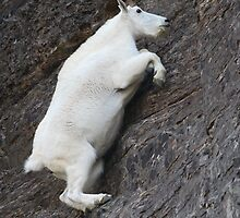 Mountain Goat on the Edge by William C. Gladish