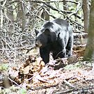 Tennessee Black Bear by Lori Walton