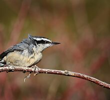 Red-Breasted Nuthatch by Renee Dawson
