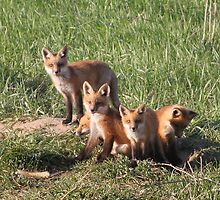 foxes by JohnKeeley