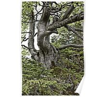 Old twisted tree Poster