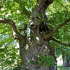Sweet Chestnut Tree by John Thurgood