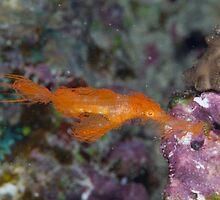 Hairy Ghost Pipefish by Mark Rosenstein