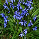 Bluebells by davesphotographics
