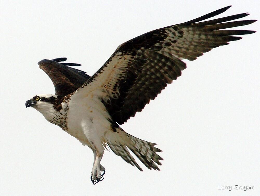 Osprey in flight by Larry  Grayam