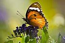 Hypolimnas Misippus - Common Diadem (female) by RatManDude