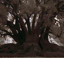 hollow fig by dennis william gaylor