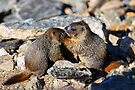 Marmot Babies Keeping Secrets by William C. Gladish