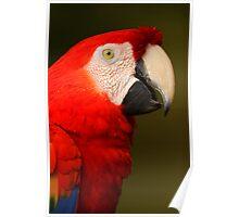 Scarlet Macaw Portrait Poster