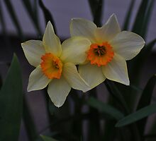 Pale yellow beauties by mltrue