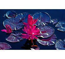 Pink Water Lillies Photographic Print