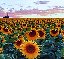 Sunflower Sunset by Brian Kerls  photography