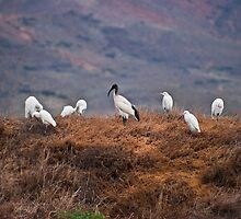 Sacred Ibis amongst Cattle Egrets by RatManDude