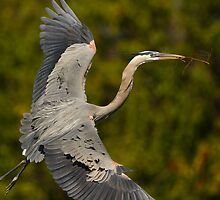 Great Blue Heron in Flight by William C. Gladish