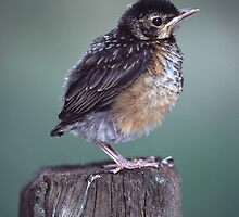 Baby Robin Portrait by William C. Gladish