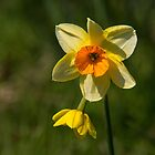 Daffodil by M.S. Photography/Art
