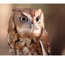 Screech Owl Portrait Photographic Print