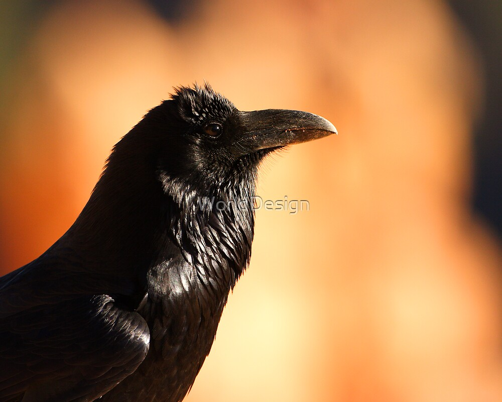 Raven Portrait at Sunset by William C. Gladish, World Design