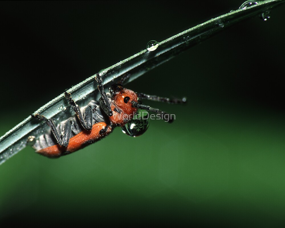 Milkweed Beetle & Dew Drop by Sheri L Gladish