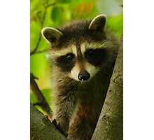 Young Raccoon at Home Photographic Print