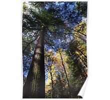 Old-Growth Hemlock Poster