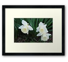 Three White Daffodils Framed Print
