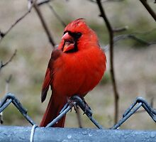 Northern Cardinal Singing His Sprintime Song by riverlady