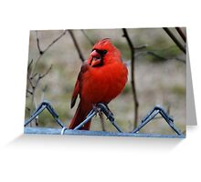 Northern Cardinal Singing His Sprintime Song Greeting Card
