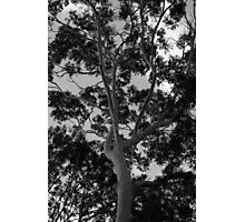Tall Timbers Photographic Print