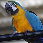 Macaw by Kelly Robinson