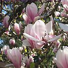 Magnolias, Magnolias! by Pat Yager