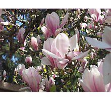 Magnolias, Magnolias! Photographic Print