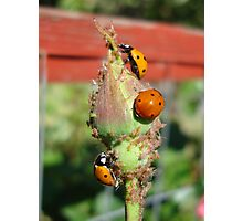 Aphid Extravaganza Photographic Print