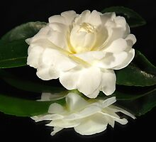 White camellia by Tamara Bush