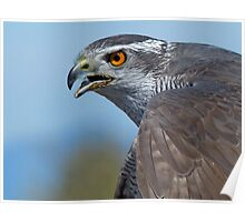 Northern Goshawk Screeching Poster
