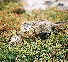 Iguana - Galapagos Islands by Derek  Rogers