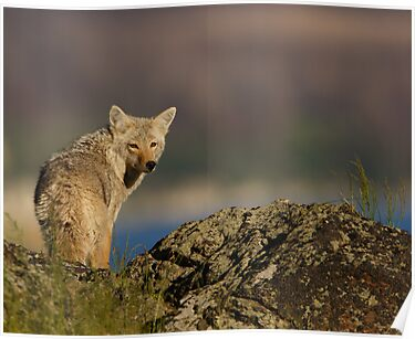 Coyote Looking Over Shoulder by William C. Gladish