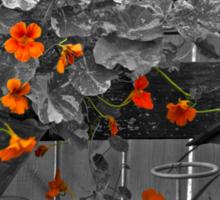 Nasturtiums In The Breeze - Selective Color Sticker