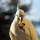 Sulphur Crested Cockatoo, at breakfast. by johnrf