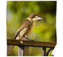 Australian Grey Butcher Bird. Poster