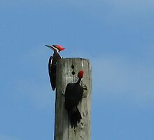 Pileated Woodpeckers by ValeriesGallery